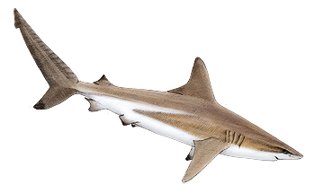 Blacktip Shark Identification