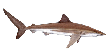 Bronze Whaler Shark Identification