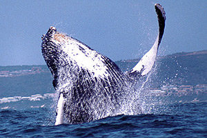 Boat Based Whale Watching : 2-3 hr Close Encounter