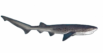 Broadnose Sevengill cow sharks South Africa