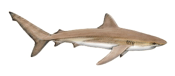 Dusky Shark Identification