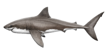 Great White Shark Identification