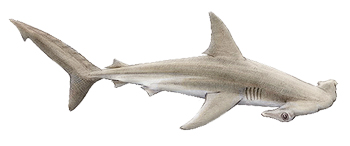 Hammerhead shark Identification