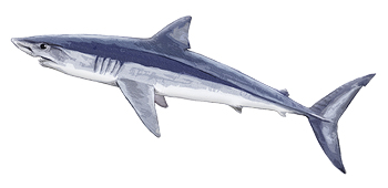 Shortfin Mako Shark South Africa